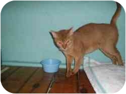 Abyssinian Cat for adoption in Hamburg, New York - Sony