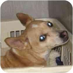 Chihuahua Mix Dog for adoption in Berkeley, California - Chucky