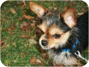 Chihuahua/Yorkie, Yorkshire Terrier Mix Dog for adoption in Kokomo, Indiana - Stewie