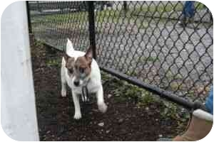 Jack Russell Terrier Dog for adoption in Islip, New York - Lucky