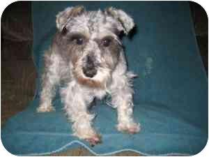 Schnauzer (Miniature) Dog for adoption in North Benton, Ohio - Sparkle