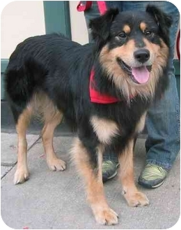 Collie Mix Dog for adoption in Chicago, Illinois - Lionel