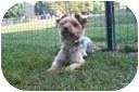 Yorkie, Yorkshire Terrier Mix Dog for adoption in Beavercreek, Ohio - LANCE