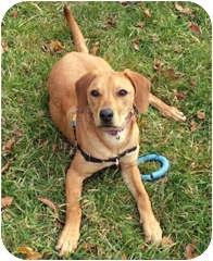 Hound (Unknown Type)/Hound (Unknown Type) Mix Puppy for adoption in Milton, Massachusetts - Georgia