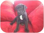 Labrador Retriever Mix Puppy for adoption in Naperville, Illinois - 8 Ball