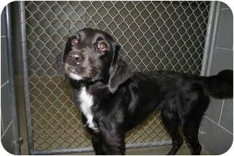 Labrador Retriever Mix Dog for adoption in Bedford, Texas - Sasha
