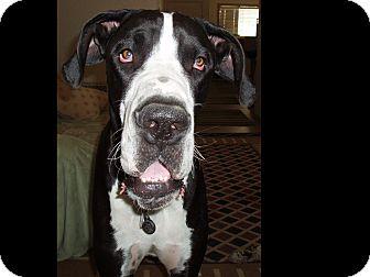 Great Dane Dog for adoption in Phoenix, Arizona - Liam