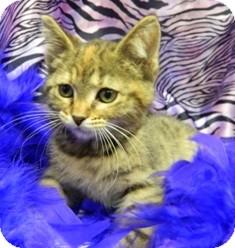 Domestic Shorthair Cat for adoption in Columbus, Nebraska - Sissy