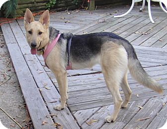 German Shepherd Dog Mix Dog for adoption in Houston, Texas - Jazzie