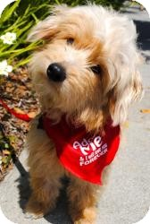 Terrier (Unknown Type, Small)/Havanese Mix Dog for adoption in Encino, California - Sundance