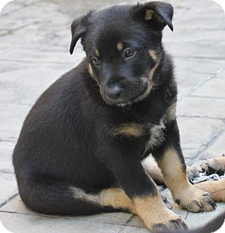 German Shepherd Dog/Rottweiler Mix Puppy for adoption in La Habra Heights, California - Rambo