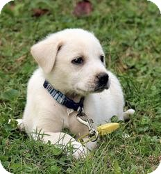 Great Pyrenees Mix Puppy for adoption in Spring Valley, New York - Susie