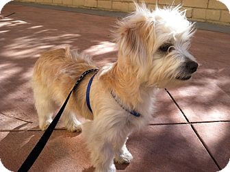 Maltese Mix Puppy for adoption in Thousand Oaks, California - Niko