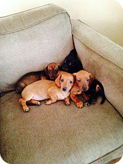 Dachshund Mix Puppy for adoption in Las Vegas, Nevada - Daffy's Dakota