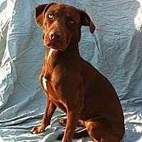 Labrador Retriever Mix Dog for adoption in Baton Rouge, Louisiana - Jewels