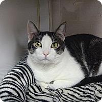 Adopt A Pet :: Molly Muffins - St. Petersburg, FL