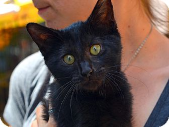 Bombay Kitten for adoption in Brooklyn, New York - Hannah