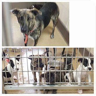 Shepherd (Unknown Type) Mix Puppy for adoption in Las Vegas, Nevada - Abilene's Arnold
