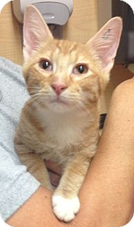 Domestic Shorthair Cat for adoption in Weatherford, Texas - Tony