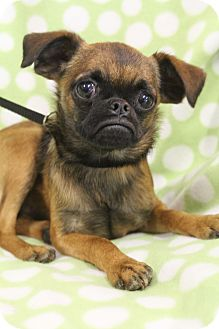 Brussels Griffon Mix Puppy for adoption in Southington, Connecticut - Curious George