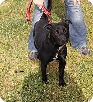 Labrador Retriever/Pit Bull Terrier Mix Dog for adoption in Hibbing, Minnesota - Trace
