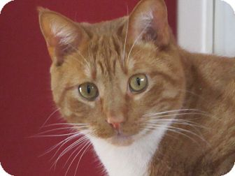 Domestic Shorthair Cat for adoption in Southington, Connecticut - Teddy