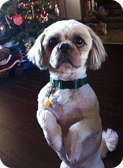 Shih Tzu Mix Dog for adoption in Peterborough, Ontario - Oliver