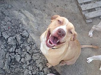Pit Bull Terrier Dog for adoption in Alvarado, Texas - Carmella