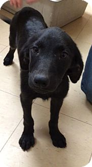 Labrador Retriever/Shepherd (Unknown Type) Mix Puppy for adoption in Baton Rouge, Louisiana - Anna