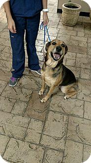 German Shepherd Dog/Labrador Retriever Mix Dog for adoption in Oviedo, Florida - Kona