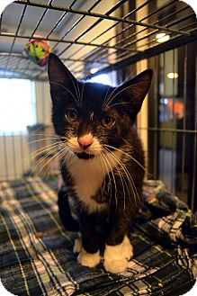 Domestic Shorthair Kitten for adoption in Broadway, New Jersey - Rink