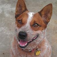 Adopt A Pet :: ACD Sr Jack is Back - Remus, MI