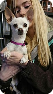 Chihuahua Mix Dog for adoption in Ogden, Utah - Lucy
