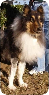 Collie Dog for adoption in Gardena, California - Trooper