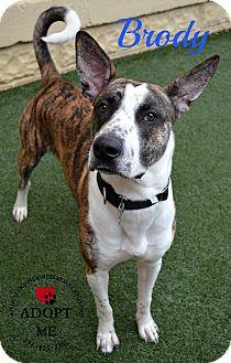 Akita Mix Dog for adoption in Youngwood, Pennsylvania - Brody