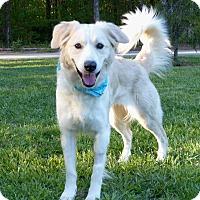Adopt A Pet :: Macey - Mocksville, NC
