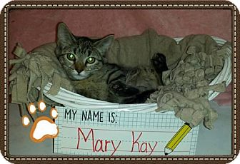 Domestic Shorthair Kitten for adoption in Iroquois, Illinois - Mary Kay
