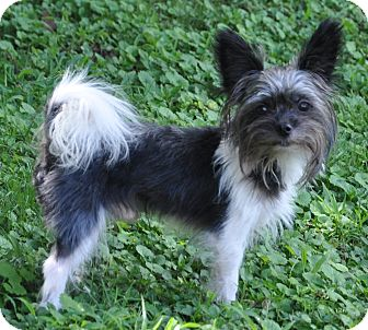 Yorkie, Yorkshire Terrier Mix Dog for adoption in Bedminster, New Jersey - Seuss