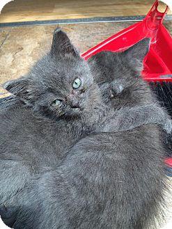 Russian Blue Kitten for adoption in THORNHILL, Ontario - DEX