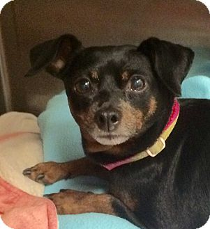 Miniature Pinscher Dog for adoption in Oak Ridge, New Jersey - Angel