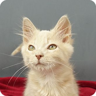 Domestic Shorthair Kitten for adoption in Columbia, Illinois - Jordan