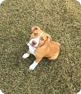 Australian Shepherd/Mountain Cur Mix Puppy for adoption in Saratoga Springs, New York - Cotton ~ ADOPTED!