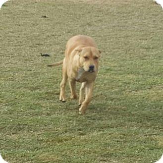 Bullmastiff/American Bulldog Mix Dog for adoption in Dana Point, California - Suki