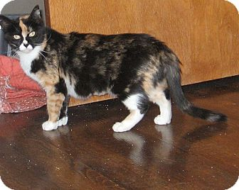 Domestic Shorthair Cat for adoption in Lewis Center, Ohio - Lizzy