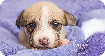 Yorkie, Yorkshire Terrier/Westie, West Highland White Terrier Mix Puppy for adoption in Inland Empire, California - RUMOR