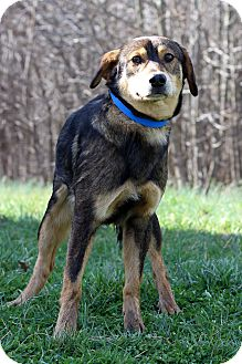 Shepherd (Unknown Type) Mix Dog for adoption in Waldorf, Maryland - Caine