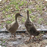 Adopt A Pet :: Ducks (2) - Christmas, FL