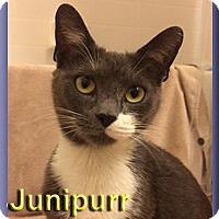 Adopt A Pet :: Junipurr - Aldie, VA
