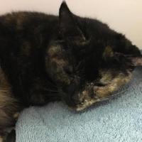 Adopt A Pet :: Venus - Orleans, VT