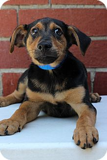 Shepherd (Unknown Type)/Rottweiler Mix Puppy for adoption in Waldorf, Maryland - David